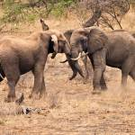 """African Elephants"" by mjphoto-graphics"