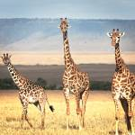 """Giraffe Family- Kenya"" by mjphoto-graphics"