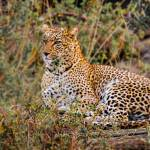 """Leopard On Watch- Kenya"" by mjphoto-graphics"