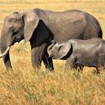 """Mother and Child- African Elephants"" by mjphoto-graphics"