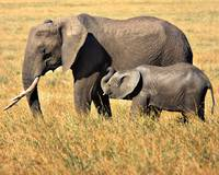 Mother and Child- African Elephants