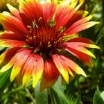 """Indian blanket flower"" by vpicks"