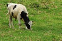 Holstein Calf Grazing