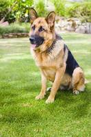 German shepherd dog learning obedience training