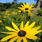 """Black-Eyed Susan"" by Mistilyn"