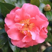 Lacy Pink Camellia Square