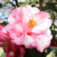 Pink and White Camellia Square