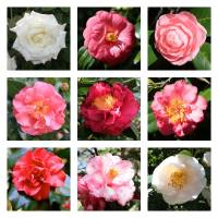 """Beautiful Camellias Collage"" by Groecar"