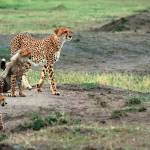 """Cheetah and Cubs"" by mjphoto-graphics"