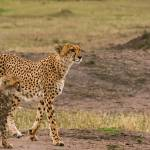 """Cheetah and Cub-2"" by mjphoto-graphics"