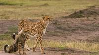 Cheetah and Cub-2