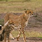"""Cheetah and Cub-3"" by mjphoto-graphics"