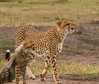 Cheetah and Cub-3