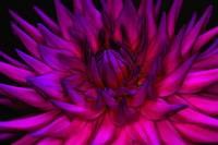 Pop Art Dahlia II