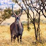 """African Waterbuck"" by mjphoto-graphics"