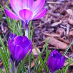 """First Sign of Spring Crocus"" by vpicks"