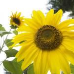 """""""BIG Sunflower"""" by rik"""