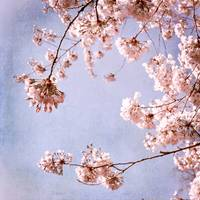 cherry blossoms in spring sky