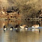 """Geese and Ducks IMG_3671"" by rayjacque"