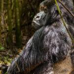 """Silverback Gorilla"" by mjphoto-graphics"