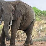 """African Elephant, Ol Donyo"" by mjphoto-graphics"