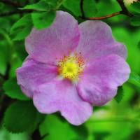 Wild Rose 2 by Lisa Rich