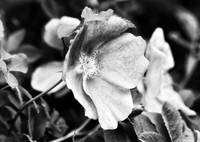 Black and White Wild Rose