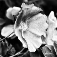 Black and White Wild Rose by Lisa Rich
