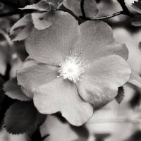 Black and White Wild Rose 2 by Lisa Rich