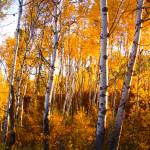 """Aspens in fall Okanagan Highlands, WA"" by dgolden"