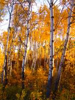 Aspens in fall Okanagan Highlands, WA
