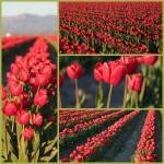 """Rows of Red Tulips Collage"" by Groecar"
