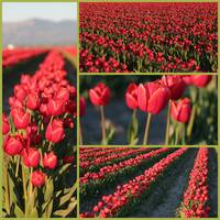 Rows of Red Tulips Collage