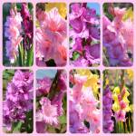 """Gladiolus in Pink Collage"" by Groecar"