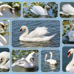"""Swan Collage"" by Groecar"