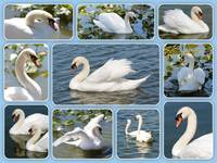 Swan Collage