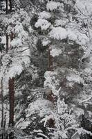 Pine Tree In Snow