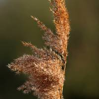 Common Reed Seed Head (40074-RDA) Art Prints & Posters by Rod Johnson