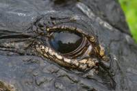 Alligator Eye