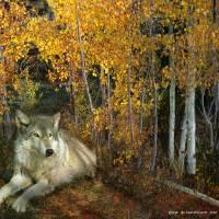 autumn aspens wolf Art Prints & Posters by r christopher vest