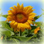 """Sunflower Sunshine"" by bettynorthcutt"