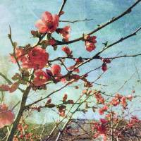 Flowering Quince Art Prints & Posters by Faye Cummings