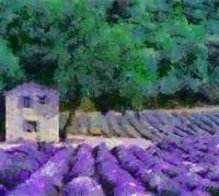 Flowering Field Of Lavender