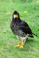 Carnuculated Caracara on Grass