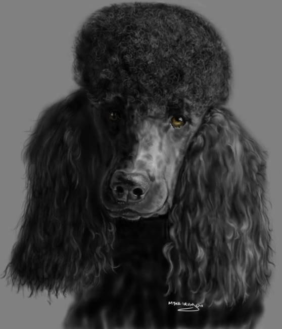Stunning Quot Standard Poodle Quot Drawings And Illustrations For