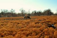 Horses in a Texas Meadow