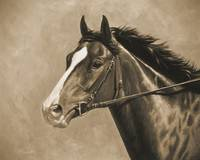 Thoroughbred Horse In Sepia