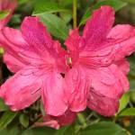"""""""Two Azalea Blooms"""" by Groecar"""