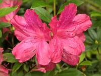 Two Azalea Blooms