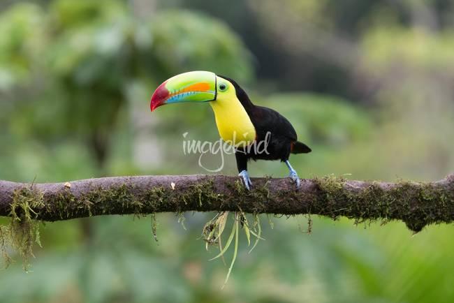 "Keel Billed Toucan Costa Rica """